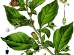 Pokrzyk wilcza jagoda (Atropa belladonna L.) / fot. wikipedia.org
