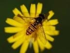 Przedstawiciel rodziny bzygowatych (Foto: pixabay.com)...