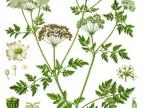Pietrasznik, czyli szczwół plamisty (Conium maculatum L.) / fot. wikipedia.org