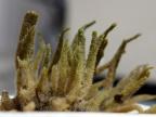 Spongilla lacustris. Fot. Andrzej Woźnica