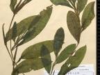 Potamogeton lucens, rdestnica połyskująca. Fot. Archiwum KTU