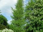 Grupa dwóch miłorzębów dwuklapowych rosnących w Ogrodzie Botanicznym we Wrocławiu / Autor: Zbigniew Zieliński (Praca własna) [CC BY-SA 3.0 pl (http://creativecommons.org/licenses/by-sa/3.0/pl/deed.en)], Wikimedia Commons