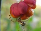 Osnuwik pospolity na owocu trzmieliny