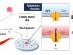 Rysunek 2 David Julius użył kapsaicyny z papryczek chili do zidentyfikowania TRPV1, kanału jonowego aktywowanego przez bolesne ciepło. Zidentyfikowano dodatkowe powiązane kanały jonowe i teraz rozumiemy, jak różne temperatury mogą indukować sygnały elektryczne w układzie nerwowym.