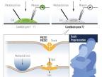 Rysunek 3 Patapoutian wykorzystał hodowane komórki mechanowrażliwe do zidentyfikowania kanału jonowego aktywowanego siłą mechaniczną. Po żmudnej pracy zidentyfikowano Piezo1. Na podstawie podobieństwa do Piezo1 znaleziono drugi kanał jonowy (Piezo2).