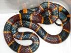 Wąż koralówka (Foto: wikipedia.org/Norman.benton)...