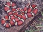 ... i wąż królewski (Foto: wikipedia.org/Mike Pingleton)