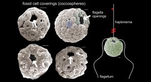 Obraz z mikroskopu skaningowego przedstawiający nanostruktury kopalne. Na obrazie widać wapienny pancerz i otwory, w których znajdowały się wici. Credit: Paul Brown/University College London