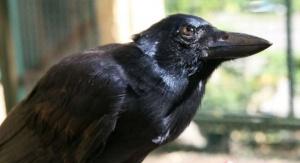 Wrona brodata. Foto: Auguste von Bayern