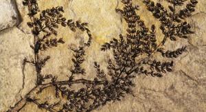 Montsechia vidalii. Fot. Bernard Gomez / Indiana University Bloomington