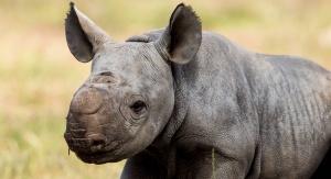 Nosorożec czarny urodzony w australijskim zoo. Foto: Rick Stevens