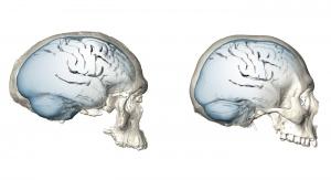 Ewolucja kształtu mózgu Homo sapiens. Po lewej: potencjalny kształt mózgu najstarszego znalezionego przedstawiciela gatunku 300 tysięcy lat temu). Po prawej: kształt mózgu człowieka żyjącego dziś. © MPI EVA/ S. Neubauer, Ph. Gunz (License: CC-BY-SA 4.0)