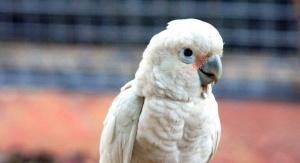 Kakadu białooka w niewoli