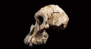Prawie kompletna czaszka przedstawiciela gatunku Australopithecus anamensis. Dale Omori/Cleveland Museum of Natural History