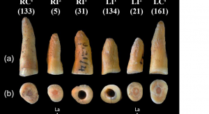Odnalezione zęby (od lewej): prawy górny kieł, prawy górny drugi siekacz, prawy górny pierwszy siekacz, lewy górny pierwszy siekacz, lewy górny drugi siekacz, lewy górny kieł. Copyrights of photo @ 2017, John Wiley and Sons (license nr 4111461246889)