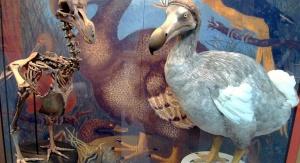 Rekonstrukcja szkieletu dodo oraz model ptaka stworzony na podstawie współczesnych badań – Oxford University Museum of Natural History. Fot. By BazzaDaRambler [CC BY 2.0 (http://creativecommons.org/licenses/by/2.0)], via Wikimedia Commons