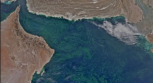 Fitoplankton rozwijający się w Morzu Arabskim zimą 2015 roku. Foto: NASA Earth Observatory