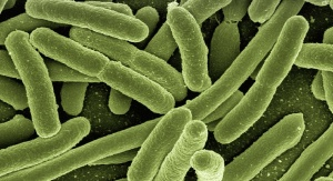 Bakterie E. coli. Źródło: domena publiczna