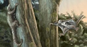 Nowe badania wskazują, że umiejętność latania rozwinęła się wśród przodków ssaków 100 milionów lat wcześniej niż pierwsze nowoczesne ssaki latające. Ilustracja: April I. Neander/University of Chicago