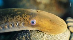 Minóg morski. Credit: T. Lawrence, Great Lakes Fishery Commission