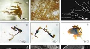 """Zdemineralizowane naczynia krwionośne z próbek kopalnych. Źródło: Artykuł pt. """"Spectroscopic Studies on Organic Matter from Triassic Reptile Bones, Upper Silesia, Poland"""""""