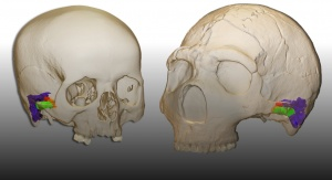Trójwymiarowy model rekronstrukcji ucha człowieka współczesnego (lewy) i neandertalczyka (prawy). Image Credit: Mercedes Conde-Valverde.