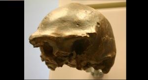 Czaszka znaleziona w rzece Solo. Źródło: https://commons.wikimedia.org/wiki/File:Ngandong_7-Homo_erectus.jpg#/media/Plik:Ngandong_7-Homo_erectus.jpg