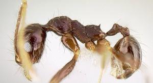 Mrówka z rodzaju Pheidole, ale z gatunku purpurea. Fot. The photographer and www.antweb.org [CC BY-SA 3.0 (http://creativecommons.org/licenses/by-sa/3.0)], via Wikimedia Commons