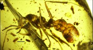 """Mikrofotografie """"Linguamyrmex vladi"""". (A) Widok boczny próbki holotypowej BuPH-01. (B) Widok głowy i tułowia. Podziałka skali 0,5mm. Fot. wileyonlinelibrary.com."""