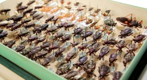 Część kolekcji Hemiptera w Katedrze Zoologii stanowią okazy na szpilkach entomologicznych. Fot. Małgorzata Kłoskowicz