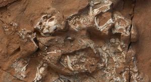 Bardzo dobrze zachowane szczątki protoceratopsa. M. Ellison/©AMNH. Źródło: https://www.amnh.org/about/press-center/first-dinosaurs-laid-soft-shelled-eggs