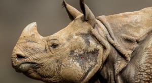 Nosorożec. Fot. Pixabay