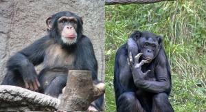 Szympans zwyczajny i bonobo. Foto: By Thomas Lersch - Praca własna, CC BY 2.5, https://commons.wikimedia.org/w/index.php?curid=1001910; CC BY-SA 2.5, https://commons.wikimedia.org/w/index.php?curid=311591