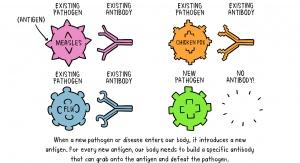 Kiedy w naszym ciele pojawi się nowy patogen, jest wyposażony w nowy antygen. Aby pokonać nowy patogen, organizm musi stworzyć nowe przeciwciało, które będzie w stanie wyeliminować antygen. Źródło: WHO