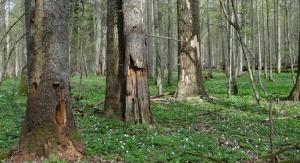 Zamierające świerki w grądach Białowieskiego Parku Narodowego. Fot. Anna Orczewska