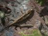 Dwa wczesne czworonogi późnego dewonu - Ichtiostega i Akantostega wychodzące z wody. Autor: Davide Bonadonna (licencja CC-BY). Źródło: https://www.eurekalert.org/multimedia/pub/249812.php