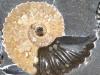 Amonit z Rosji z okresu dolnej kredy wraz z zachowanymi kapsułkami jajowymi ślimaków (dolna część okazu) – obiekty ostatnich zainteresowań dr. Michała Zatonia