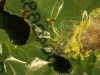 Gąsienica barciaka zjadająca polietylenową torbę na zakupy (Credit: Bertocchini/Bombelli/Howe)