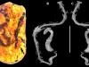 Bursztyn ze szczątkami Xiaophis myanmarensis i zdjęcie roentgenowskie szkieletu. Źródło: http://www.sciencemag.org