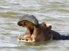 Z natury spokojny, hipopotam może być bardzo agresywny. W wodzie potrafi być sprawnym wojownikiem, który zwycięży krokodyla. Jego przodkowie byli znacznie mniejsi, ale także bardzo dobrze radzili sobie w swoim środowisku