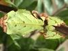 liściec strzałkowy, Phyllium jacobsoni. Foto: Agnieszka Sikora/GU
