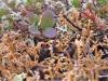 Wierzba zielna (Salix herbacea) w otoczeniu krzaczkowatych plech porostów z rodzaju chrobotek (Cladonia), w tle pędy bażyny czarnej (Empetrum nigrum). Foto: Andrzej Pasierbiński