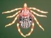 Kleszcz z rodzaju Hyalomma (Fot. By Alan R Walker (Own work) [CC BY-SA 3.0 (http://creativecommons.org/licenses/by-sa/3.0)], via Wikimedia Commons)