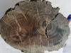 Fragment ksylitu (sfosylizowanego drewna) z widocznymi słojami przyrostowymi. Fot. Leszek Marynowski