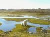 Niedźwiedź polarny (Ursus maritimus)  w okolicy Polskiej Stacji Polarnej Hornsund na Spitsbergenie. Fot. dr Dariusz Ignatiuk