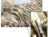 Dwa zdjęcia prezentujące zachowany fragment szkieletu oraz w powiększeniu narośle na jednym z żeber
