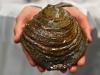 Dojrzała skorupa ostrygi leżąca na dłoniach