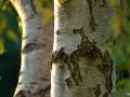 Betulina, naturalny związek występujący w białej części kory brzozy, ma właściwości przeciwbakteryjne, przeciwwirusowe i przeciwzapalne. Źródło: Martin Sepion | Unsplash