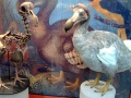 Rekonstrukcja szkieletu dodo oraz model ptaka stworzony na podstawie współczesnych badań – Oxford University Museum of Natural History. Fot. By BazzaDaRambler [CC BY 2.0 (http://creativecommons.org/licenses/by/2.0)], via Wikimedia Commons