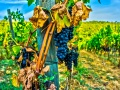 Włoska winorośl. Źródło: domena publiczna